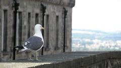 Seagull at Edinburgh Castle
