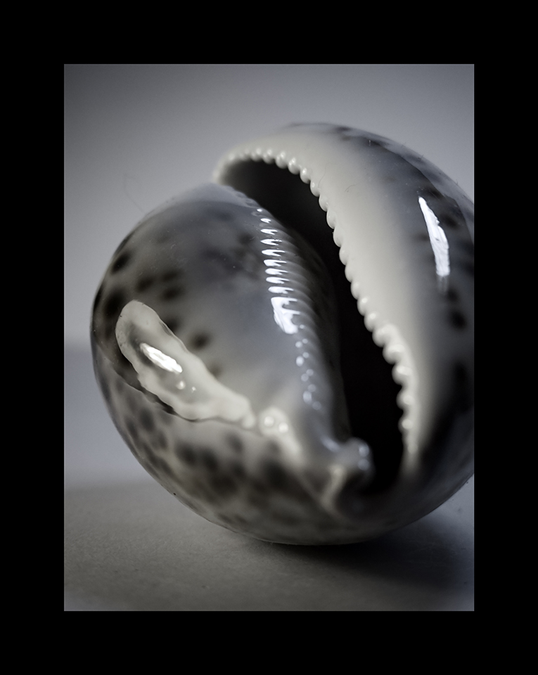 Photography: Tiger Cowrie by Nicholas M Vivian