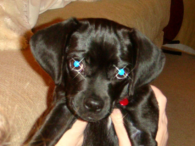 Pin Black-puggle-pictures on Pinterest