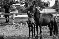 Mule  with friesian mother/ Mule et sa maman frisonne