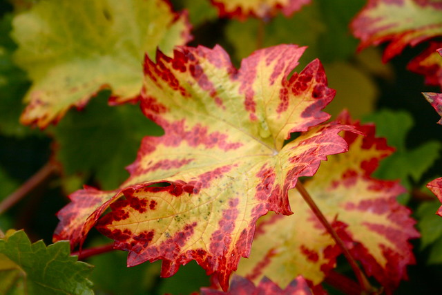 Autumn vine 3