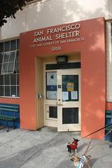Chihuahuas at SF ACC