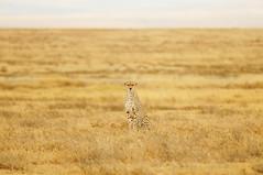 [フリー画像素材] 動物 1, 哺乳類, チーター ID:201108131000