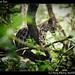 Margay, Belize Zoo