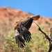 Whistling kite by rotheche