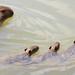Série com a Capivara (Hydrochoerus hydrochaeris) e os seus filhotes - Series with the Capybara and its nestlings - 12-12-2009 - IMG_7888 by Flávio Cruvinel Brandão