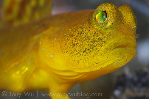 Yellow Shrimp Goby Close-up Flickr - Photo Sharing!