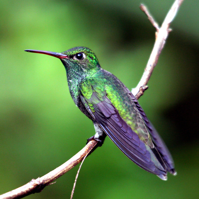 Beija-flor-de-garganta-verde - Glittering-throated Emerald - (Amazilia fimbriata)