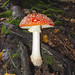Amanita - Photo (c) ZeroOne, some rights reserved (CC BY-NC-SA)
