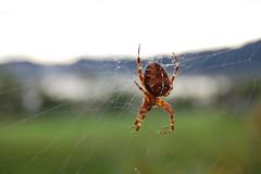 argiope(0.0), yellow garden spider(0.0), araneus(0.0), arthropod(1.0), animal(1.0), spider(1.0), invertebrate(1.0), macro photography(1.0), european garden spider(1.0), fauna(1.0), close-up(1.0), orb weaver spider(1.0), spider web(1.0),
