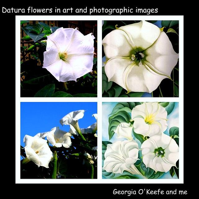 Georgia O'Keeffe and  I: joy in Datura flowers ...