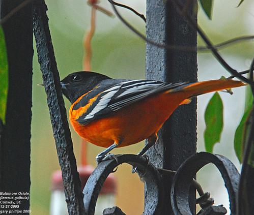 winter explore baltimoreoriole yardbird icterusgalbula adultmale ©allrightsreserved conwaysouthcarolina southcarolinabirds