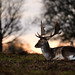 Stag by SM Photo