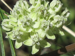 Narrow-leaved milkweed
