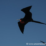 Male Frigate Bird - Galapagos Islands