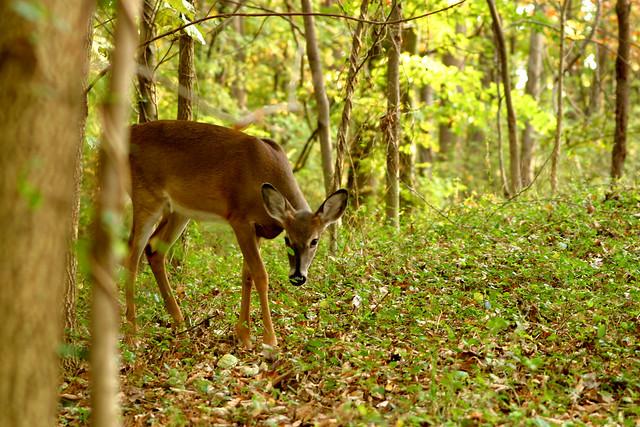 Habitats And Wildlife Deer In Woods Flickr Photo