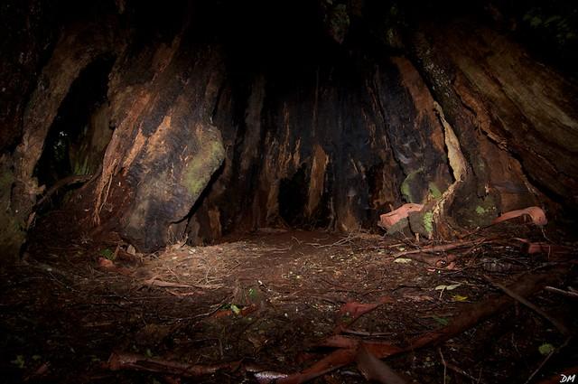 A Giant Hollow Tree In The Blue Tier Rainforest Ne Tasman