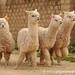 A Pack of Alpacas - Huancavelica, Peru