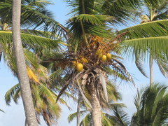 arecales, borassus flabellifer, coconut, palm family, tree, produce, fruit, food,