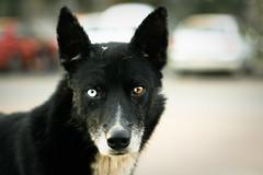 lapponian herder(0.0), puppy(0.0), pet(0.0), schipperke(0.0), dog breed(1.0), animal(1.0), dog(1.0), karelian bear dog(1.0), close-up(1.0), carnivoran(1.0),