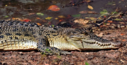 Sungei Buloh Crocodile