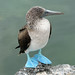 Blue-footed Booby...the profile