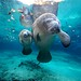 West Indian Manatees - Crystal River, Florida