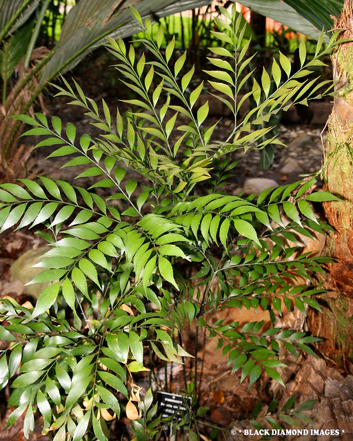 Bowenia serrulata - Byfield Fern