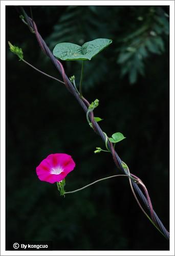 旋花科-牵牛花属-左旋还是右旋-粉红色