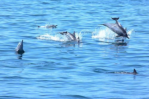 3W68-龜山島-長吻飛旋海豚