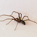 Giant house spider - Photo (c) Lamerie, some rights reserved (CC BY-NC)