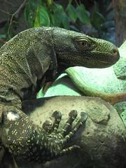 animal, reptile, lizard, komodo dragon, green, fauna, scaled reptile, wildlife,