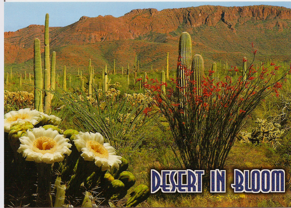 Az State flower Postcard None left over Reserved the las…