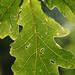 Pedunculate Oak - Photo (c) Jordi Roy Gabarra, some rights reserved (CC BY-NC)