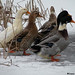 the ducks getting ready for a winter swim by Dayna Hawerchuk