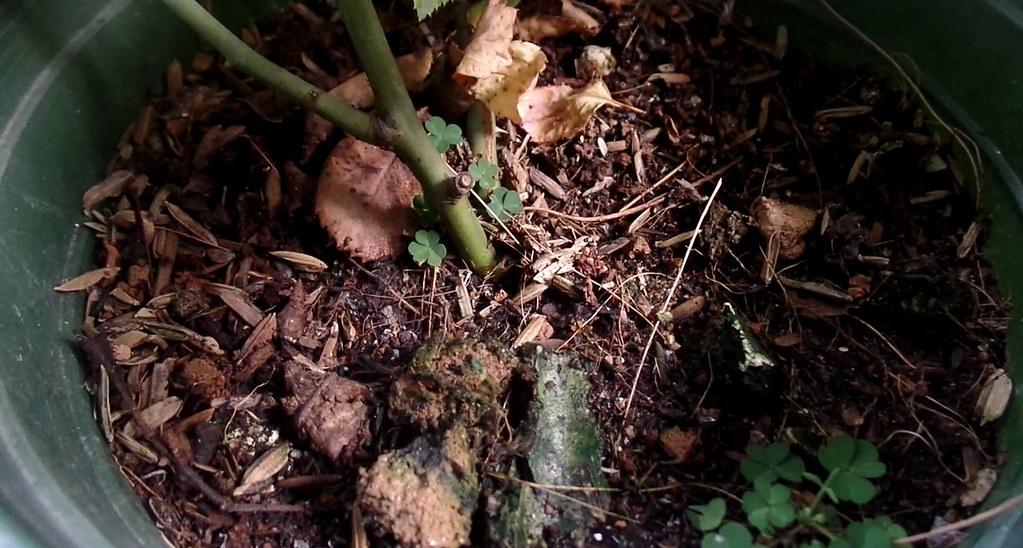 Bề mặt giá thể trong chậu hồng luôn sạch sẽ vì có lớp xỉ than hòa lẫn trong đó. Ít bị rong rêu bám vào.