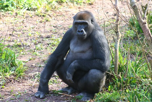 Gorilla, Paignton Zoo, Devon UK by Claire Stocker (Stocker Images)