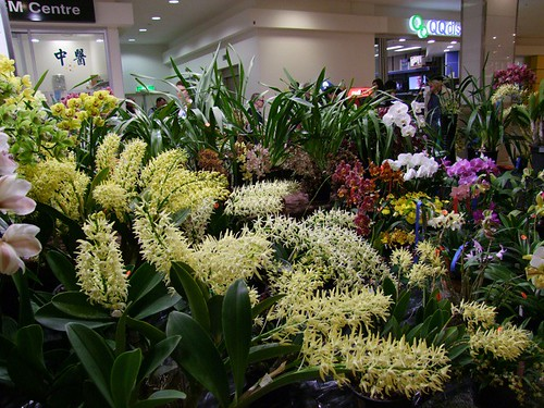 Den. speciosum  section Winter Show Ashfield Mall 2009
