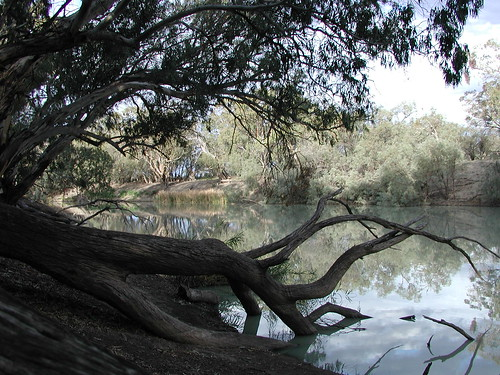 River Red gums lie in the Darling