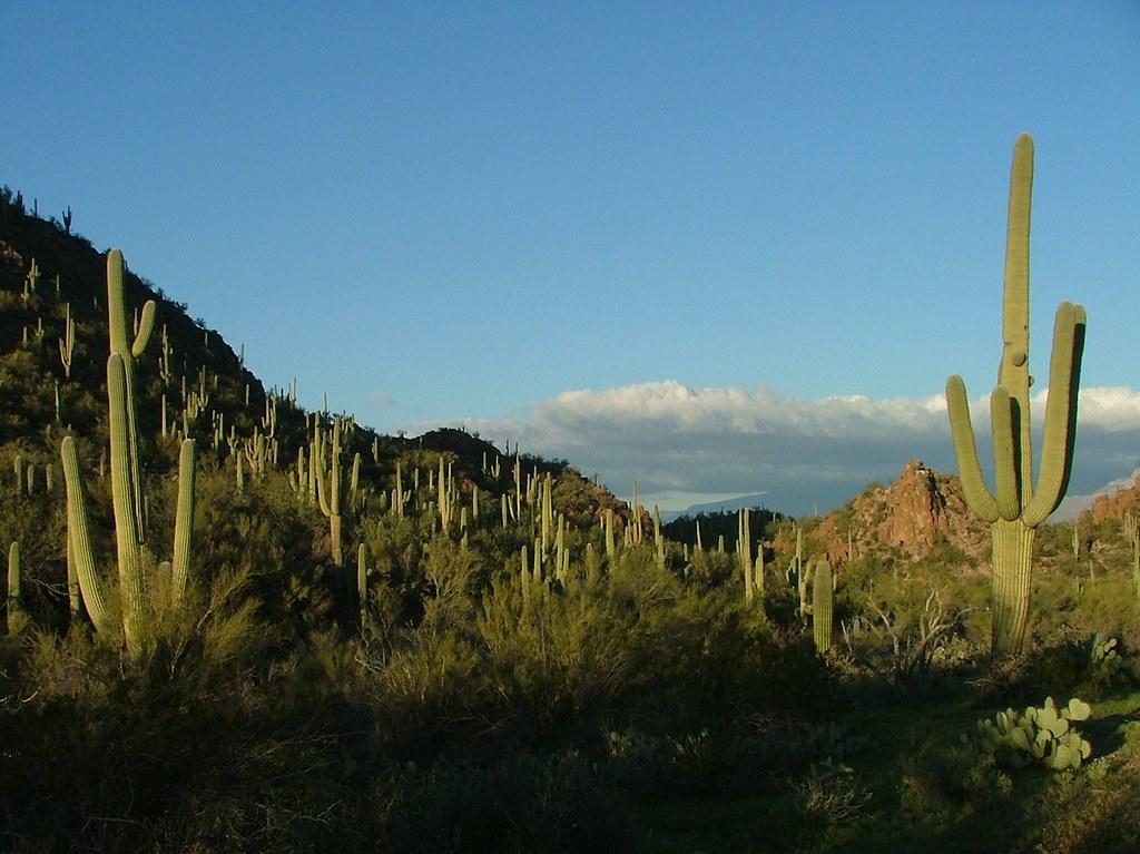 Suguaro Forest