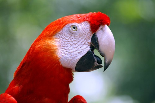 Red Parrot by @Doug88888