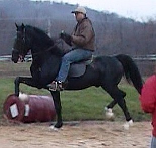 Hackney Horse stallion under saddle 2