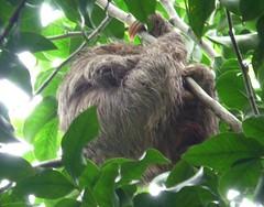 rainforest(0.0), animal(1.0), three toed sloth(1.0), branch(1.0), mammal(1.0), fauna(1.0), jungle(1.0), wildlife(1.0),