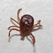 Lone Star Tick, Paynetown SRA, Monroe County IN by b_nicodemus