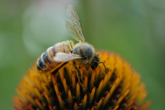 200907011 Honey Bee 001
