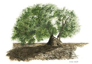 Old olive tree. Vecchio olivo.