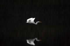 Great White Egret taking flight over Bennett's Creek Park