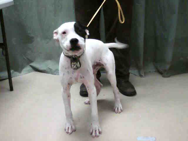 white with black eye spot male pit bull flickr photo