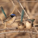 Purple-crowned Fairy-wrens by Jon Thornton