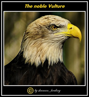 Der edle Geier/The noble Vulture/高贵的秃鹫/والنسر النبيل